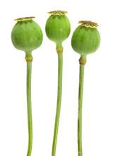 The Opium Poppy.