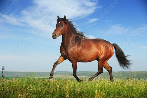 Fotomural Beautiful brown horse running trot