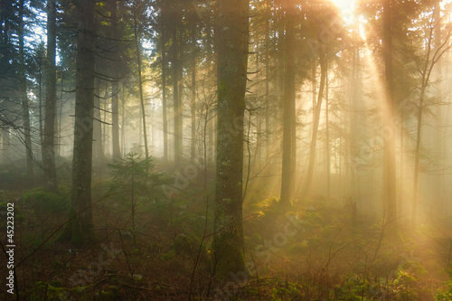 Tuinposter Bos in mist Autumn morning in the foggy forest