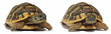 Two Smal Turtles Isolated On White Background