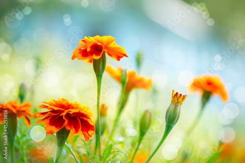 Tagetes Marigold Flower. Autumn Flowers Background