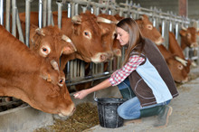 Woman Feeding Cows Inside The ...