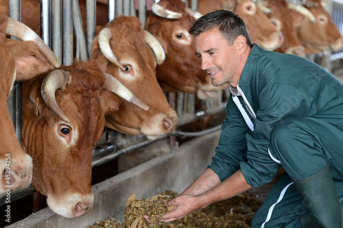 Fotografia Closeup on cows being fed by cattleman