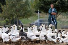 Ducks Outside De Farm And Farm...