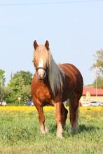 Palomino Draught Horse Eating Grass At The Pasture