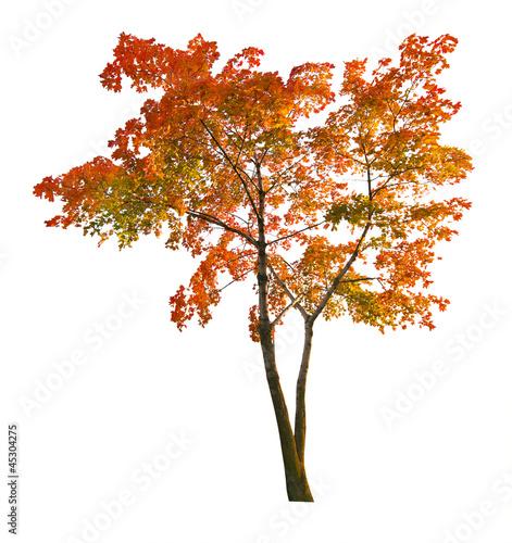 red autumn maple tree isoalted on white