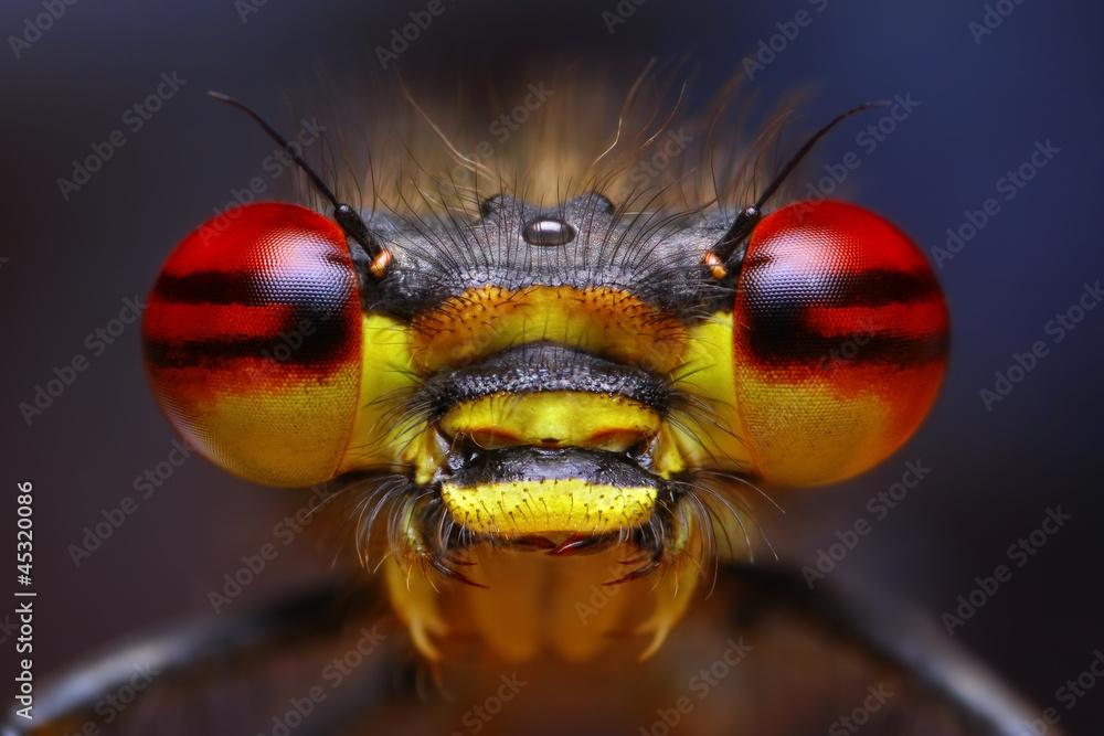 Fototapety, obrazy: Pyrrhosoma nymphula extreme damselfly portrait