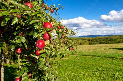 Apfelbaum in der Natur Canvas Print
