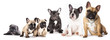 Group of French Bulldogs all ages in front of white background
