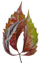 Discolored Leaf Vines In Autumn