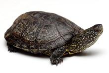 European Pond Turtle Over White