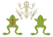Zoology, Anatomy Of Amphibian,...