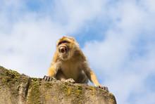 Angry Berber Monkey