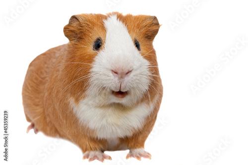 Fotografía  red guinea pig