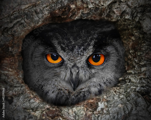 Acrylic Prints The evil eyes. The Eagle Owl (Bubo bubo) in a hollow tree.