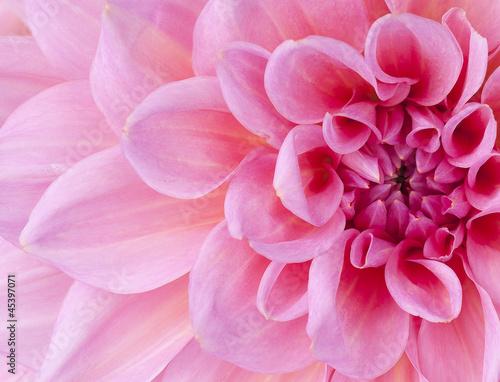 Poster de jardin Dahlia dahlia