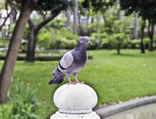 One Pigeon In City Park