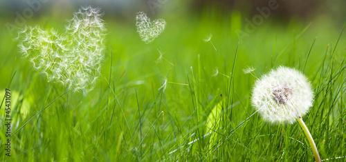 Keuken foto achterwand Paardebloem Dandelion form a flying seeds in hearts form