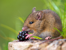 Wild Mouse Eating Raspberry On Log