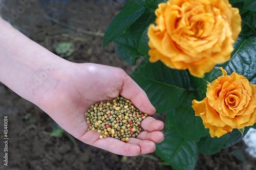 Fototapeta Fertilization of plants obraz