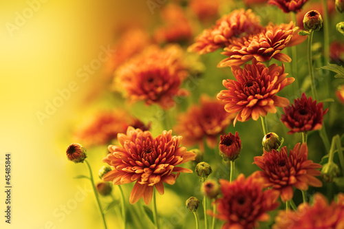 Colorful autumnal chrysanthemum Fototapete