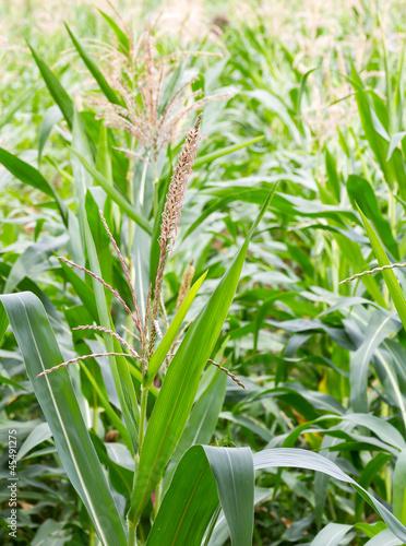 Photo Stands Draw Corn stalk blossom