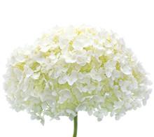 White Hydrangea Flower Blooms,...