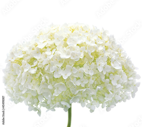 Garden Poster Hydrangea White Hydrangea Flower Blooms, Isolated Macro Closeup, Mophead