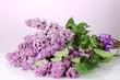 beautiful lilac flowers on purple background