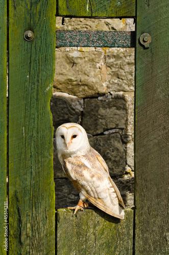 Barn owl on barn door Fototapete
