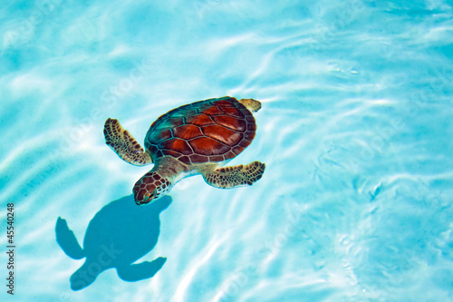 Poster Tortue Baby turtle in the water