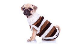 Little Mops Puppy Wearing Clothes