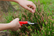 Heather pruning  with secateurs