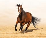 Galopujący koń Trakoński