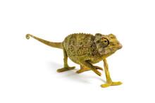 Jackson's Chameleon - Chamaele...