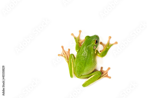 Fotografie, Obraz  White Lipped Tree Frog