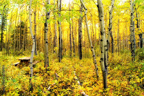 Vibrant colors of an alpine aspen forest in the Canadian Rockies