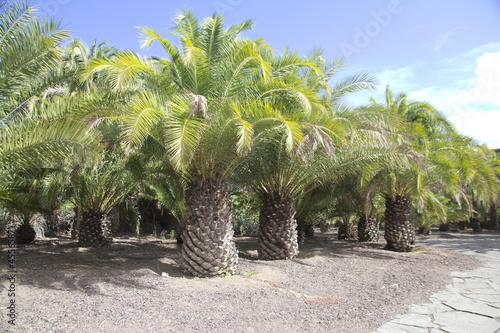palmy-de-gran-canaria