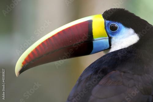 tukan-w-lesie-amazon-brazylia