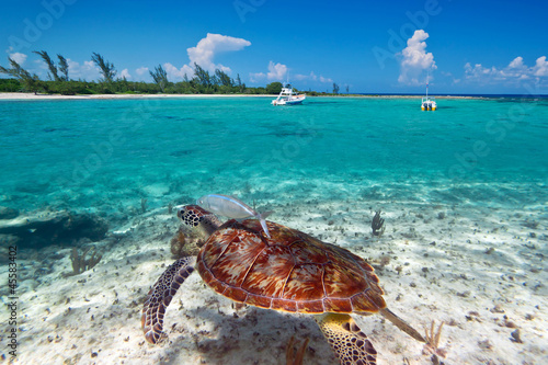 Papiers peints Recifs coralliens Green turtle in Caribbean Sea scenery of Mexico