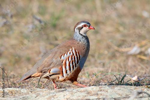 Photo  Red partridge wild