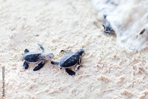 Foto op Aluminium Schildpad Baby green turtles