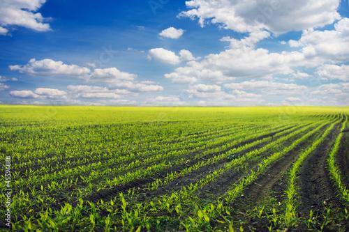 Fotobehang Platteland Curved Rows of Spring Corn
