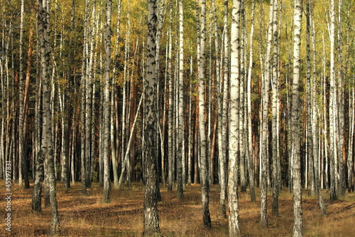 Deurstickers Berkbosje Autumn trees with yellowing leaves