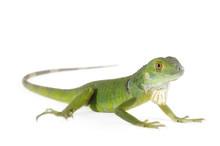 Baby Iguana Isolated On White ...