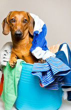 Dog In The Laundry Basket