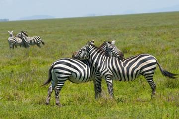 zebry