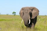 Fototapeta Sawanna - słoń