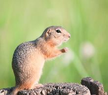 European Ground Squirrel (gopher, Spermophilus Citellus)