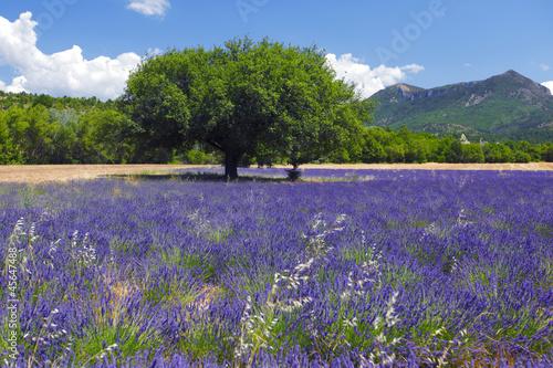 In de dag Lavendel lavender field